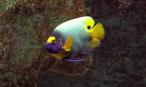 YELLOW MASK ANGELFISH