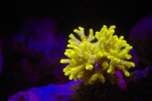 aquarium-lyon-fluorescence-coral-4